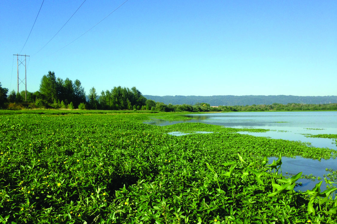 photo of Smith and Bybee Wetlands invasive ludwigia before treatment