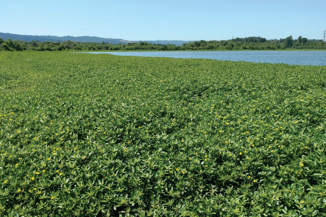 photo of ludwigia at Smith and Bybee Wetlands Natural Area