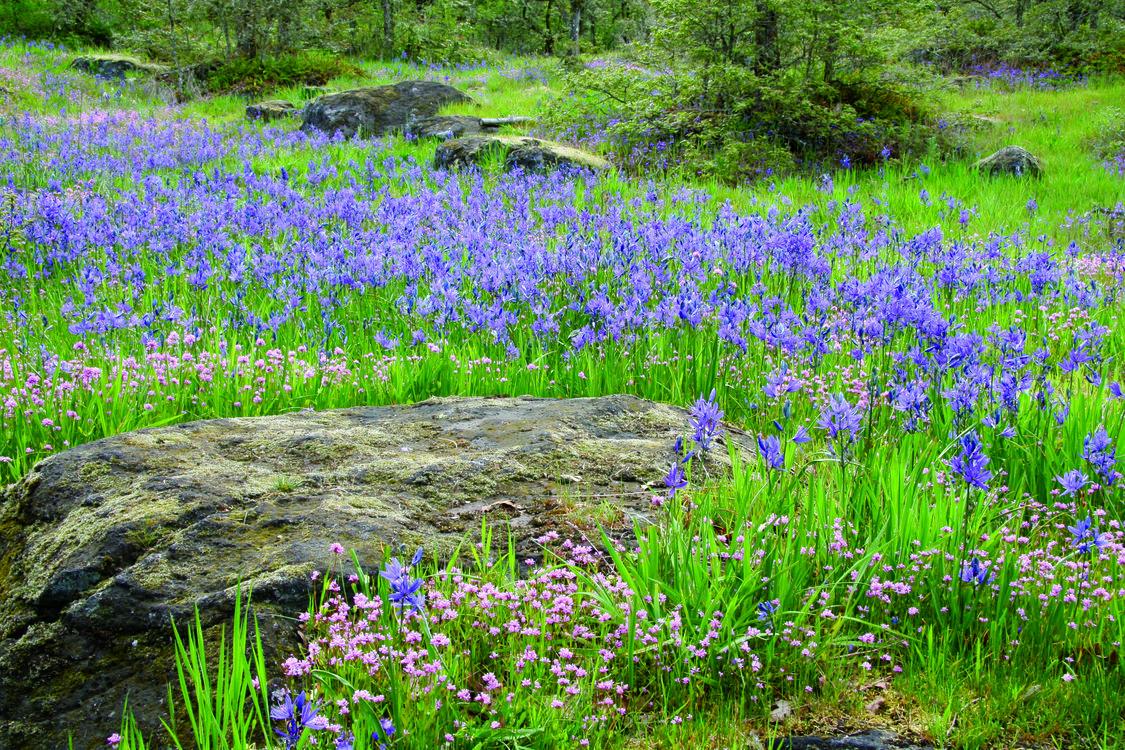 photo of Canemah Bluff wildflowers