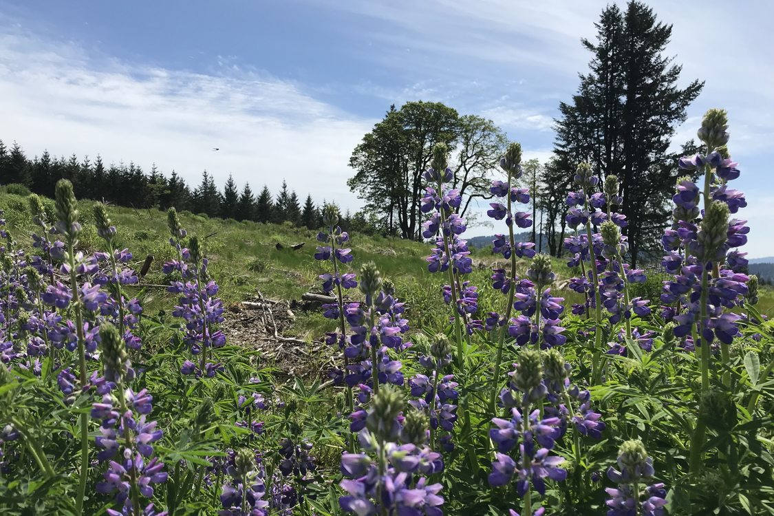 photo of lupine flowers on a grassy hillside