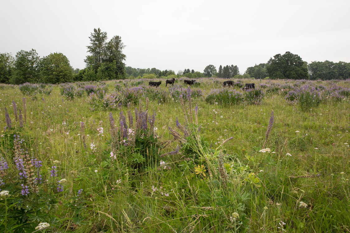 Cattle grazing at Howell Territorial Park