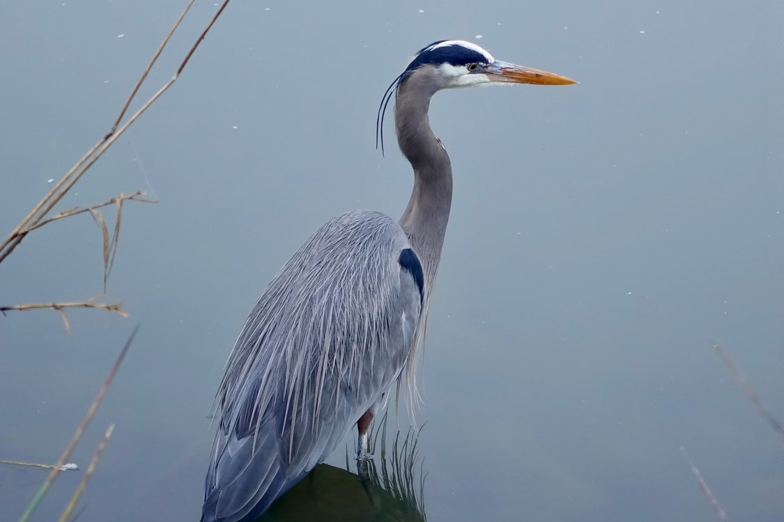 photo of blue heron by Betty Smith