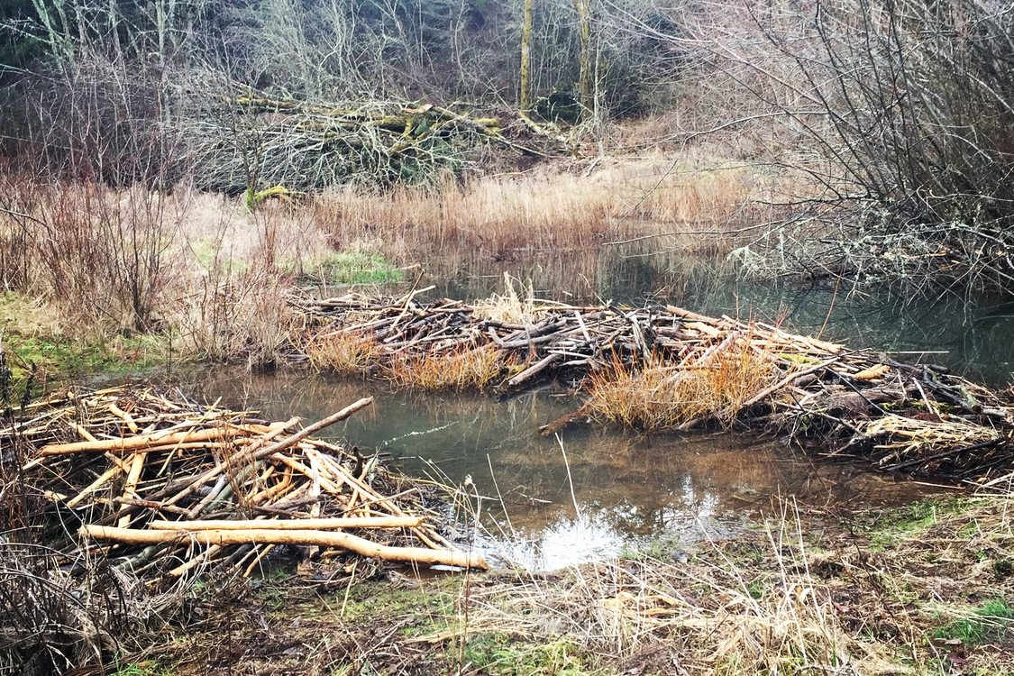 photo of beaver dam at Chehalem Ridge Natural Area