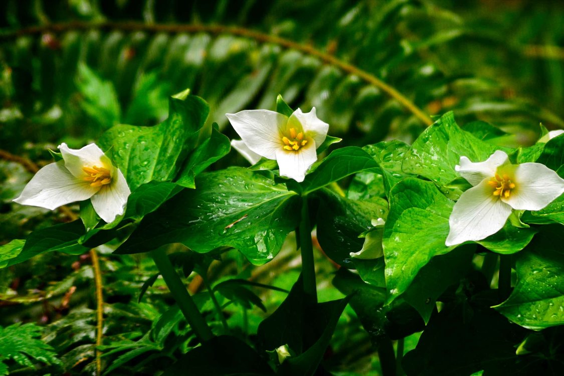 Three bloomed trilliums with a green backdrop of ferns.