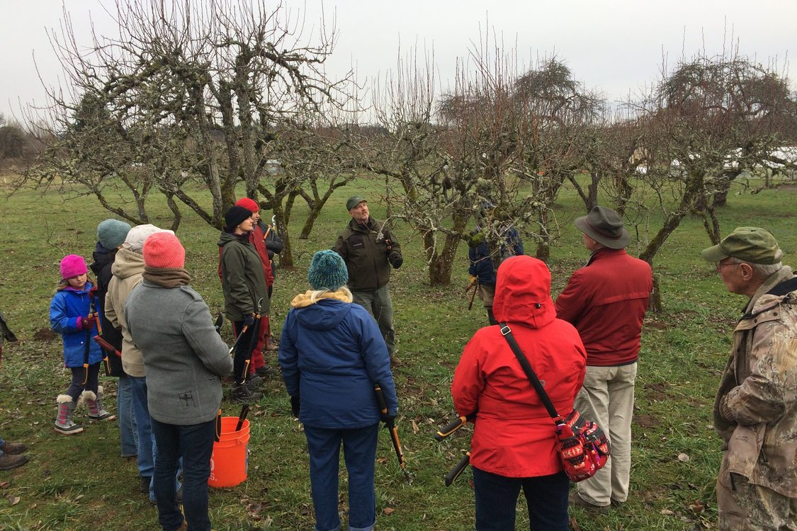 Fruit tree pruning at Howell Territorial Park historic orchard with Metro Arborist, Howard Rasmussen