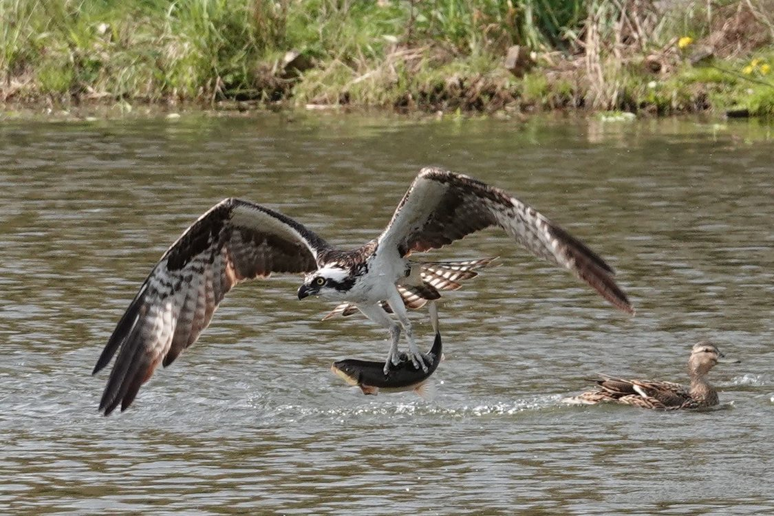 Picture of Osprey grabbing trout out of Commonwealth Lake with protective mallard mother in background.