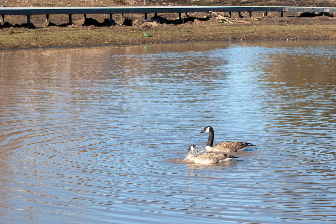 Two geese floating in the man made pond.