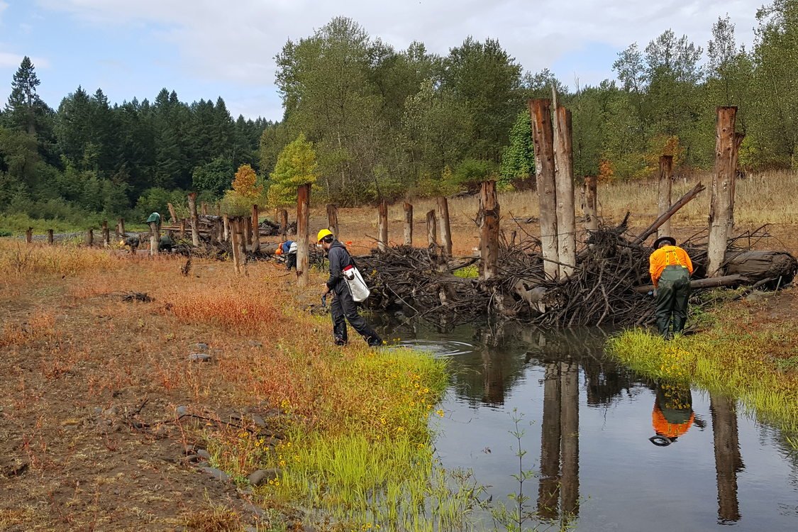 Crews installing willow stakes along Goose Creek at River Island on the Clackamas River.