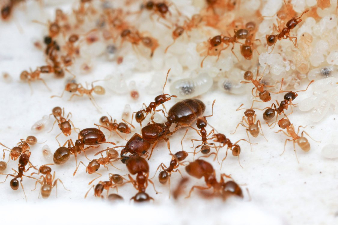 close up of ants with larvae