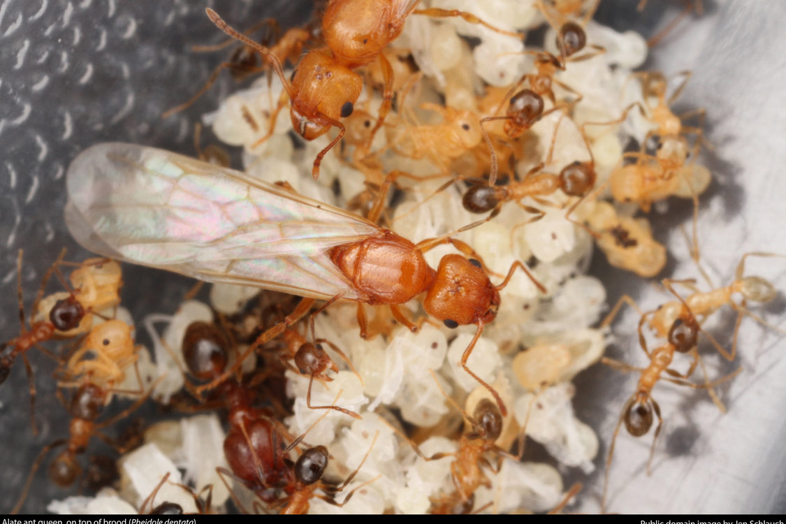 close up of a winged queen ant with her brood