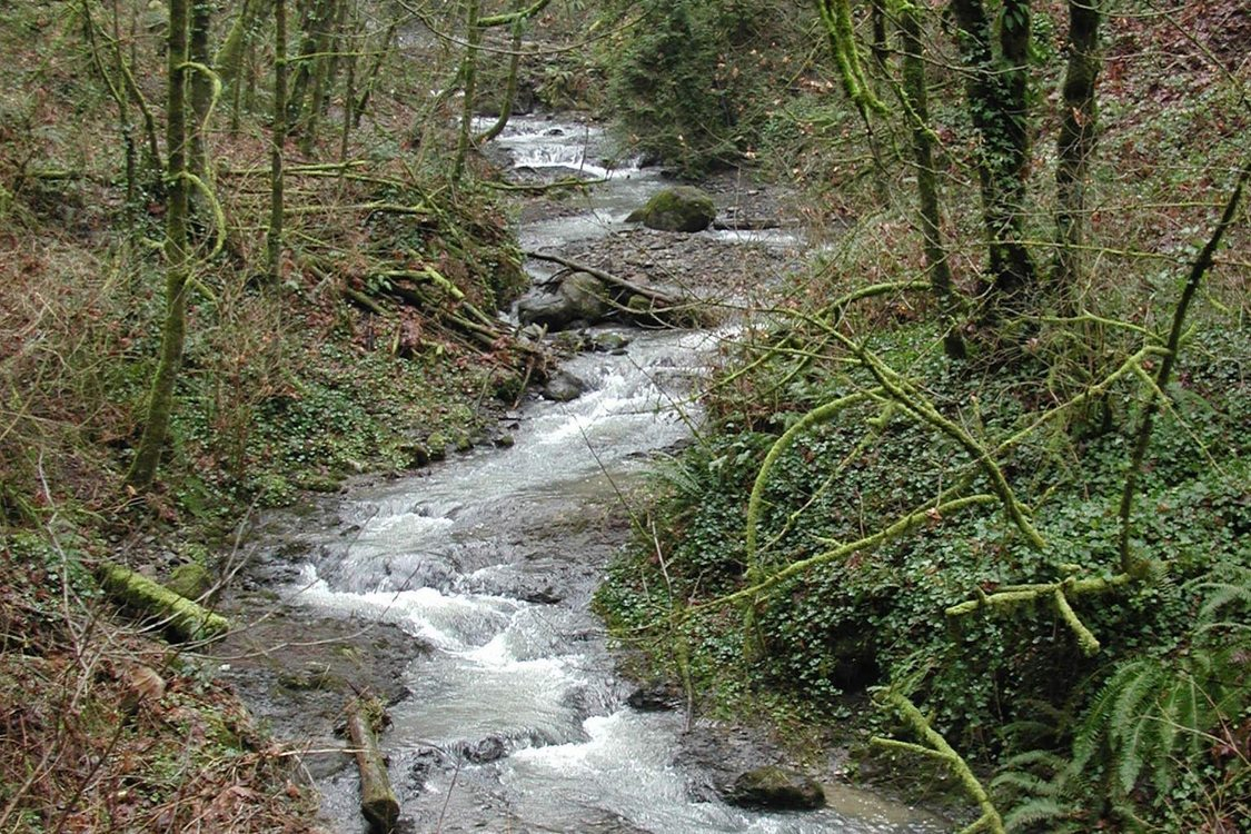 A rapidly running stream winds through a wooded area. Many tree branches are covered in moss and the creek banks are covered in English Ivy.