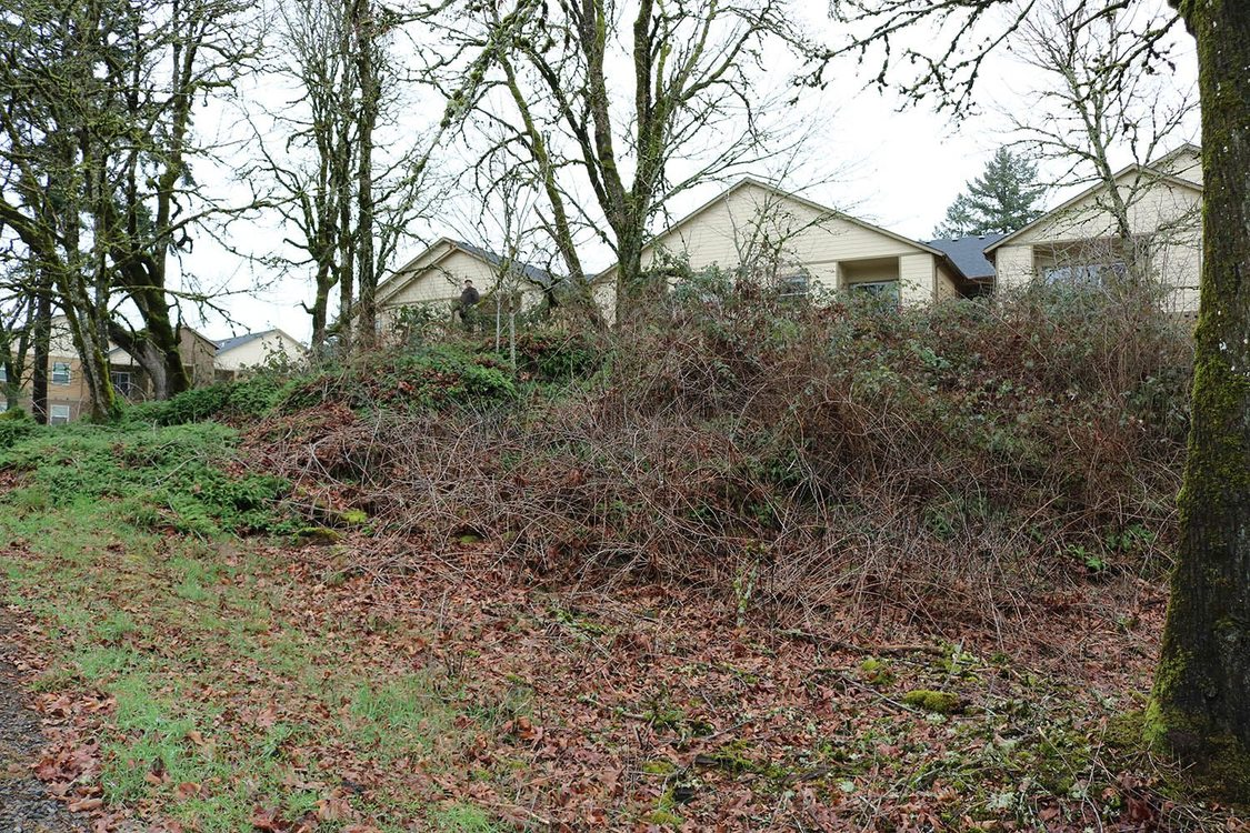A hill scattered with leaves and grass towards the bottom has Himilayan Blackberry and more clogging the top and growing around a tree. Several houses and more trees are in the background.