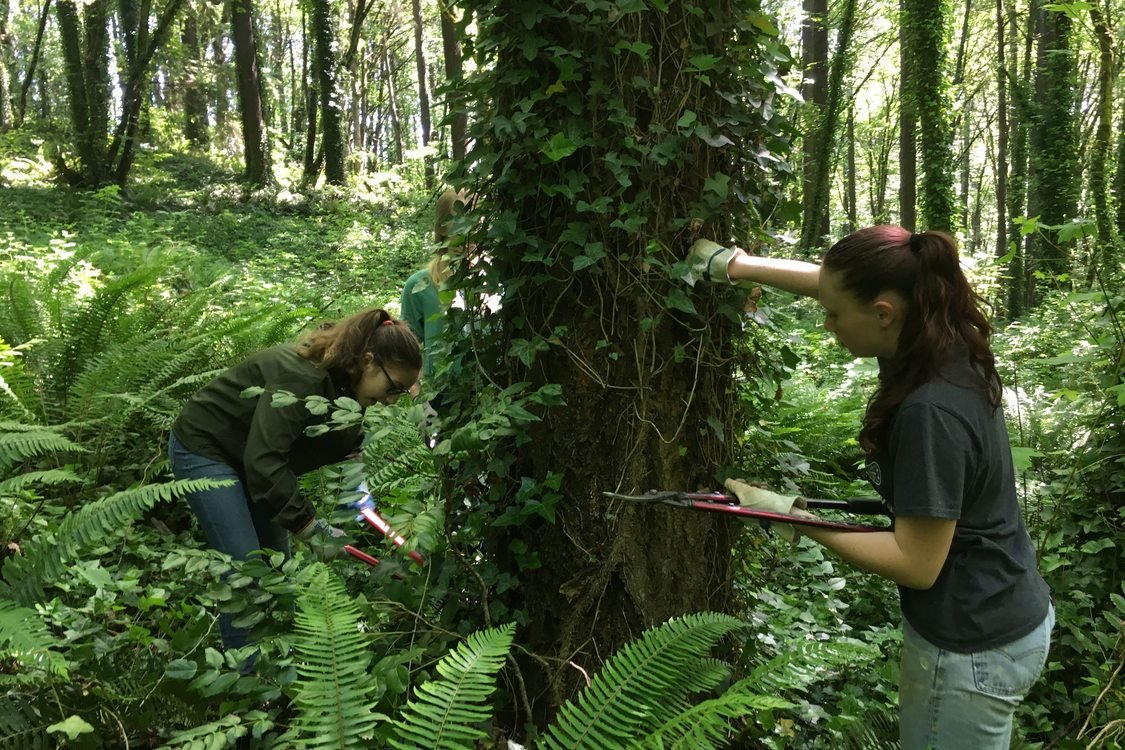 Two youth work together to remove English Ivy from a tree trunk using clippers. They are surrounded by green forest ground cover and several tall trees,  many of which are also covered in ivy.