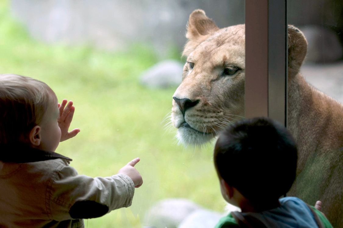 A toddler puts its face and hand on the glass viewing window of the lions' pen at the zoo
