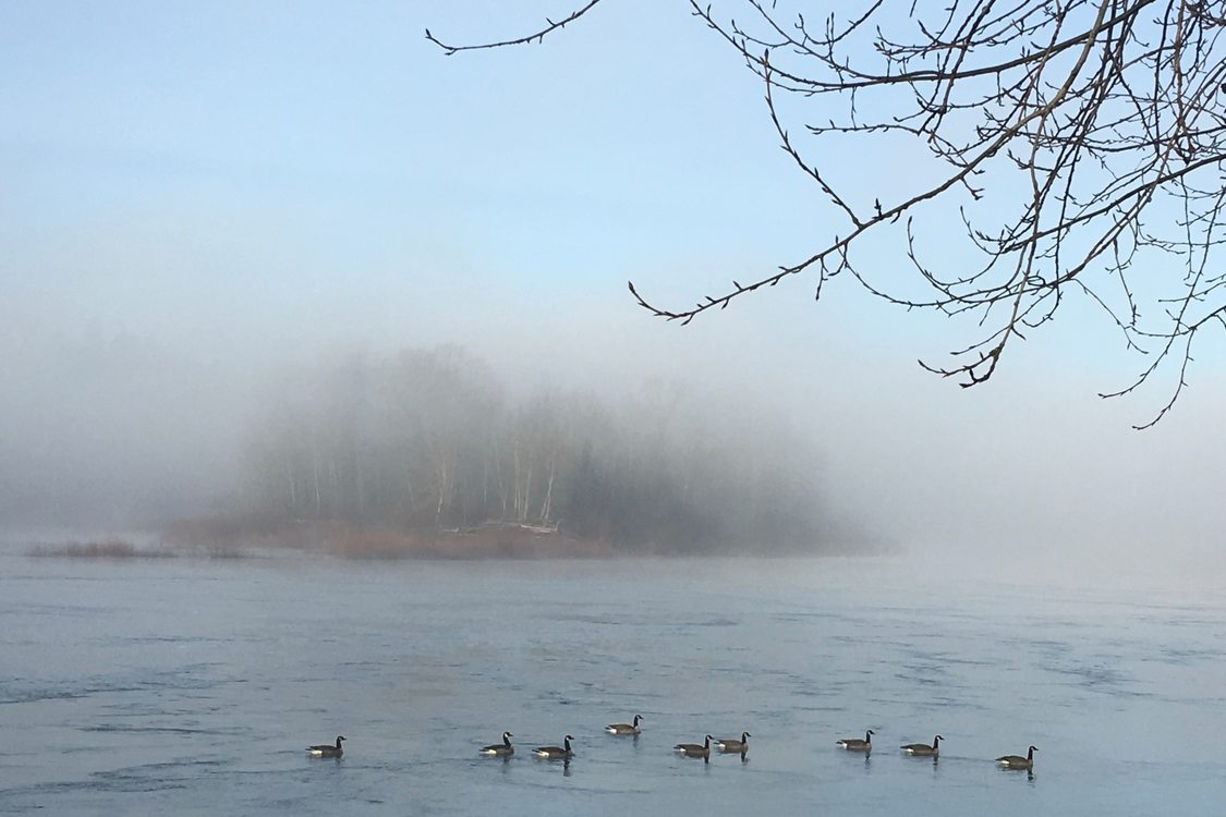 geese floating on river with trees in the background blurred by steam fog