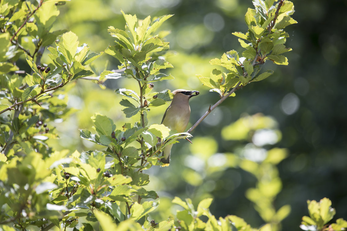 A cedar waxwing holds a berry in its beak while perched on a tree branch at Smith and Bybee Wetlands.
