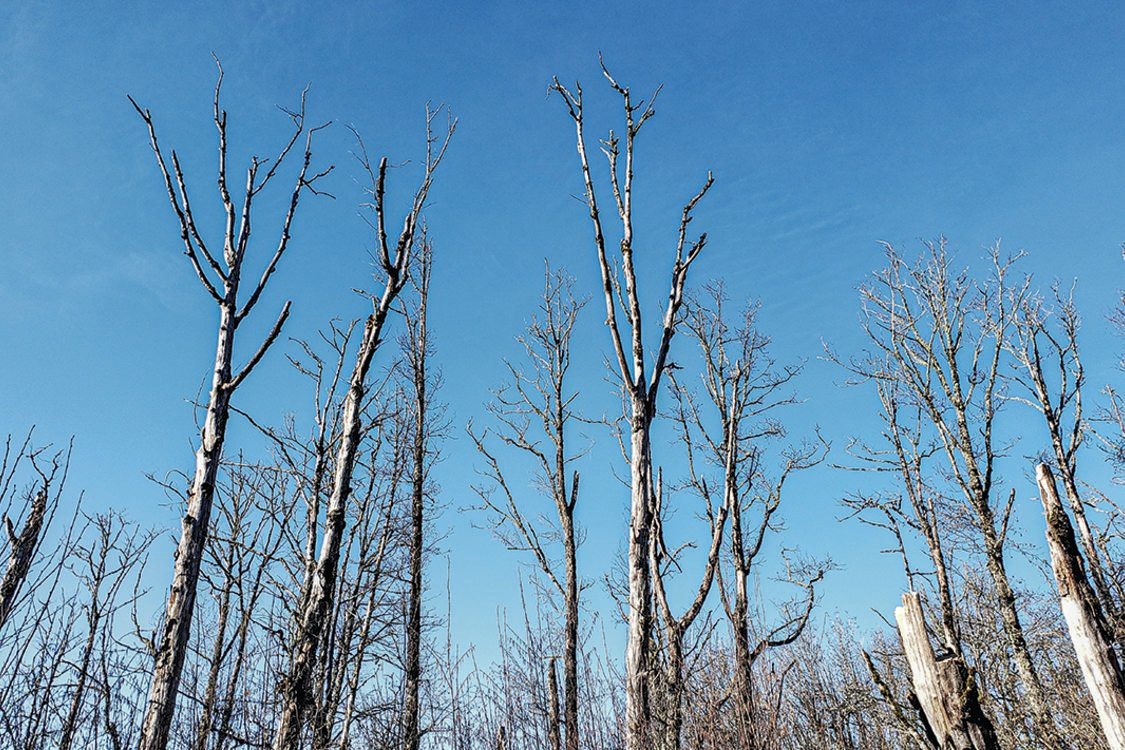 A stand of dead red alder trees reaches into a blue sky at Grant Butte in Gresham.