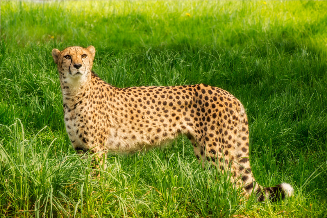 a cheetah standing in tall grass at the Oregon Zoo