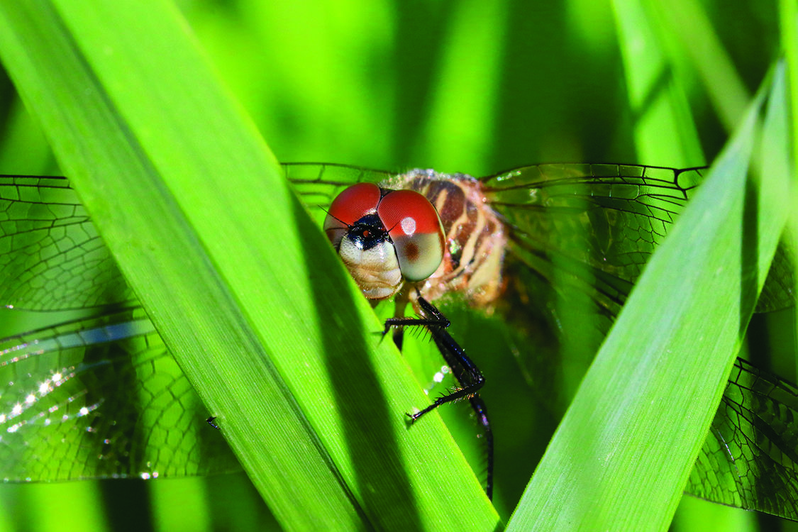 A dragonfly rests on a plant, it has big red eyes.