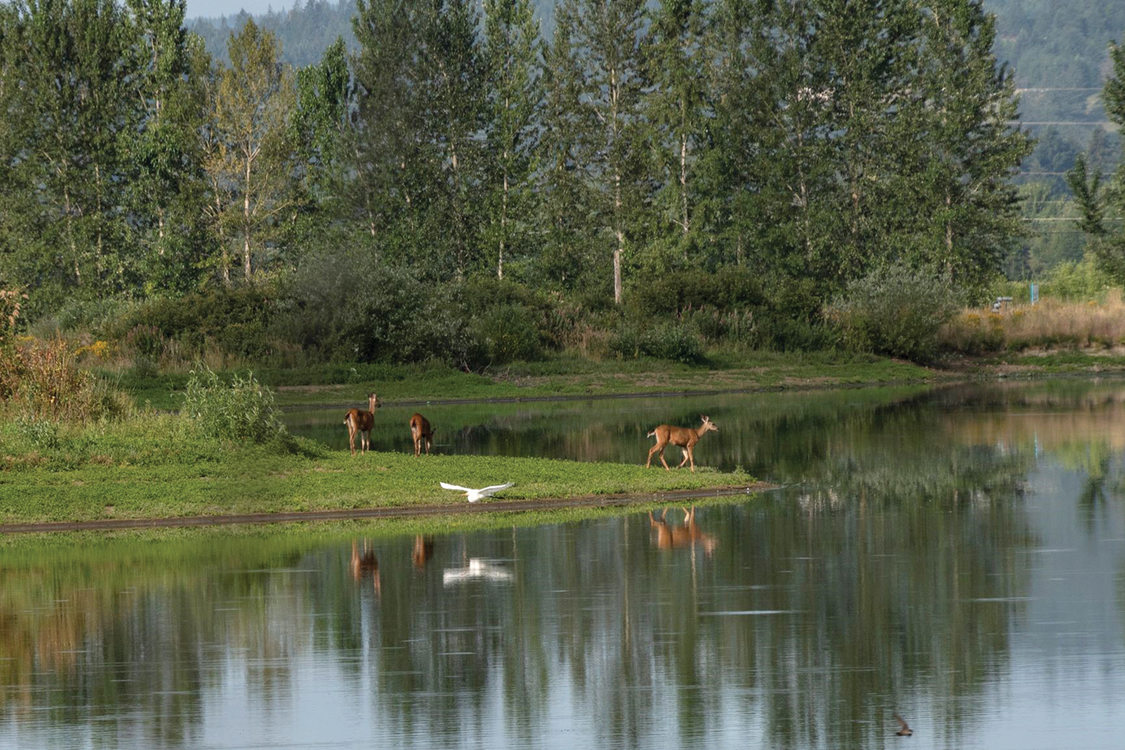 Three deer stand at a pond's edge while a great egret flies over the water.