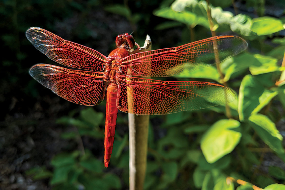 A huge, bright orange dragonfly perches on a reed.