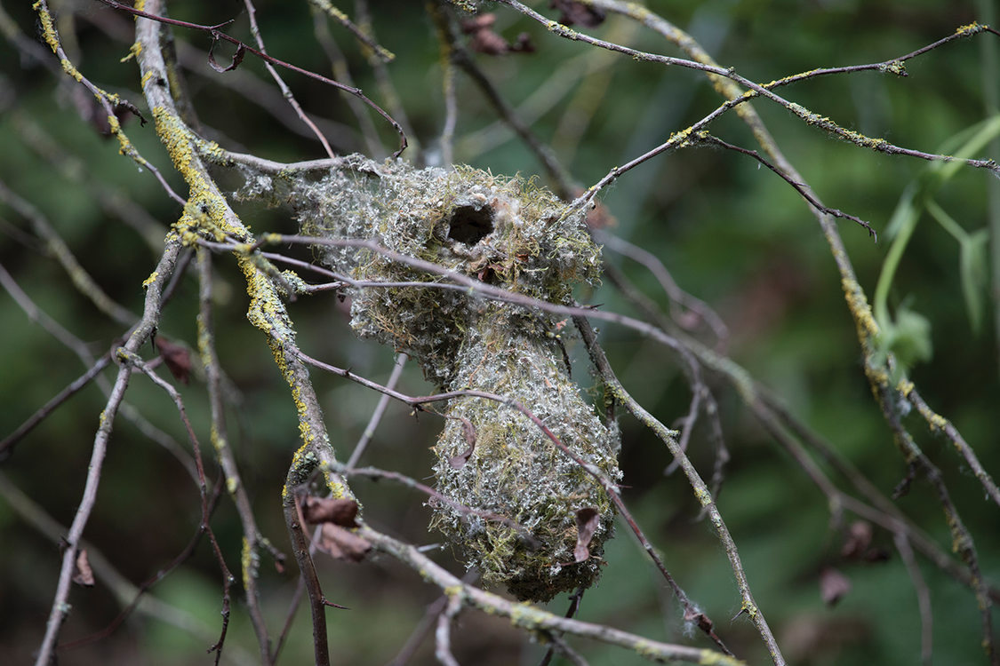 A mossy nest that looks like a gourd hangs from a small branch.