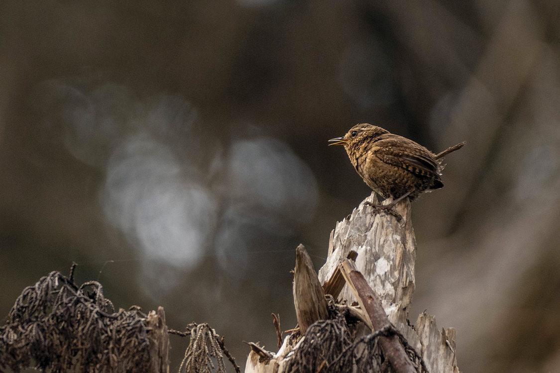 A tiny little brown bird perches on fallen branch.