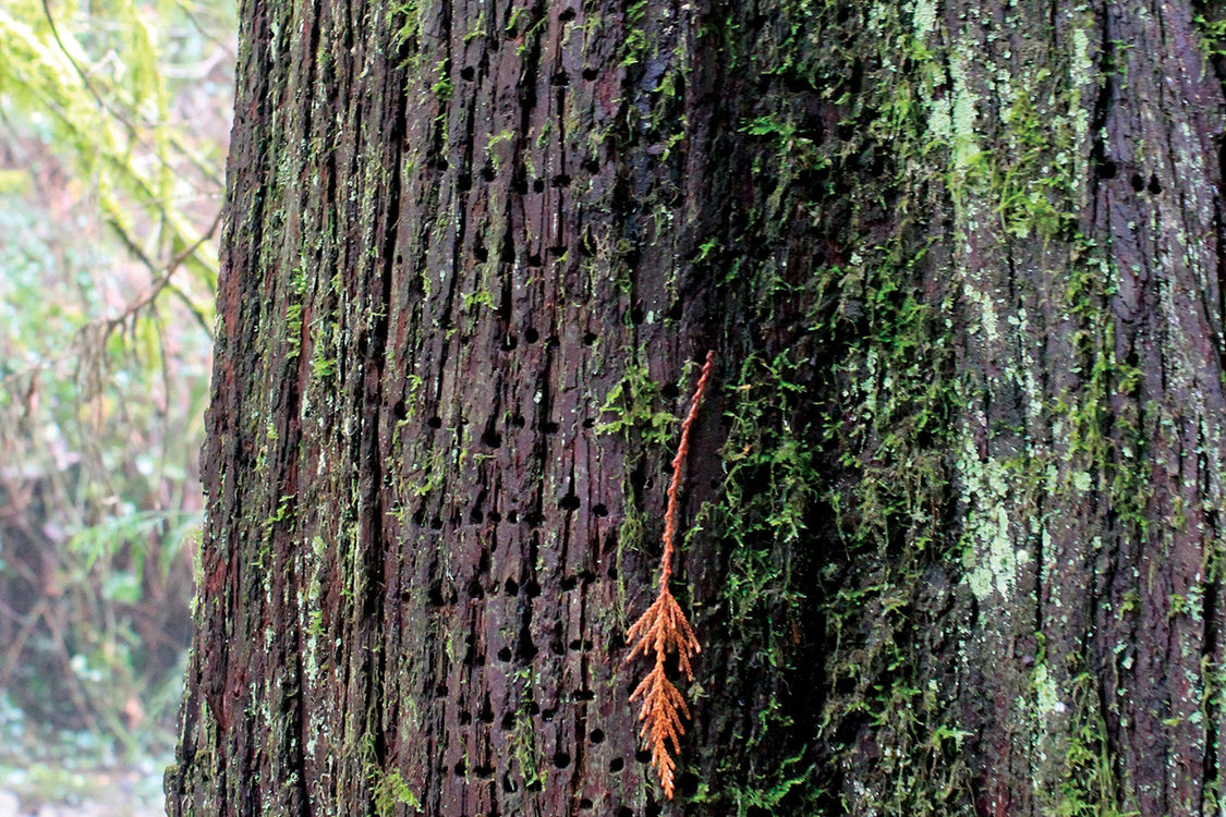 Tiny holes in neat rows cover the bark of a tree that is also covered in moss.