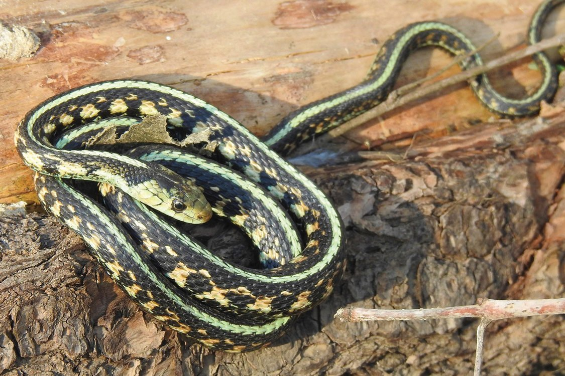 A green, black and orange garter snake curls up on a log.