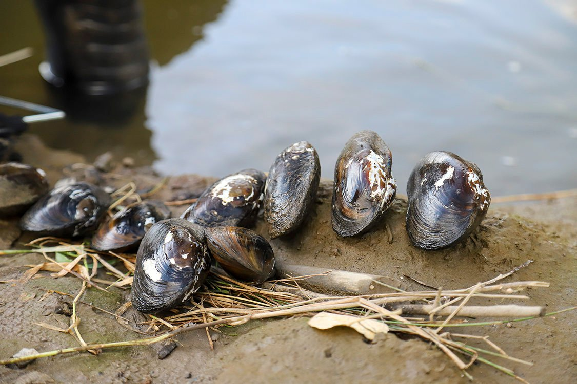 Close-up image of nine live mussel shells lined up on a muddy shoreline.