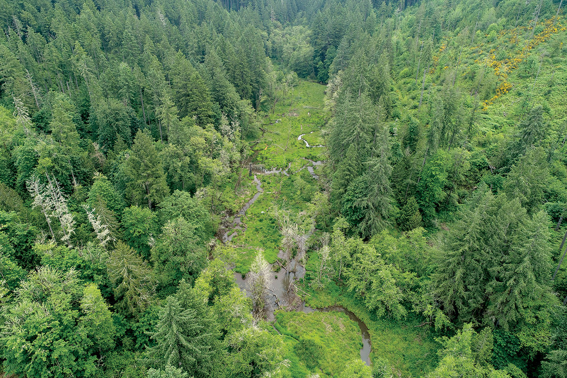 A drone image of a forest with conifer and deciduous trees with a winding creek running through the middle. Beaver dams dot the stream.
