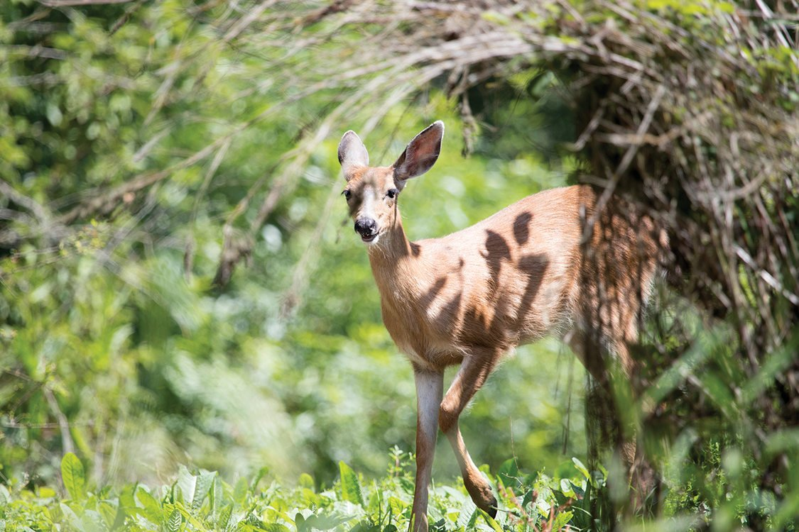A brown deer looks up from eating, surrounded by foliage and ground plants.