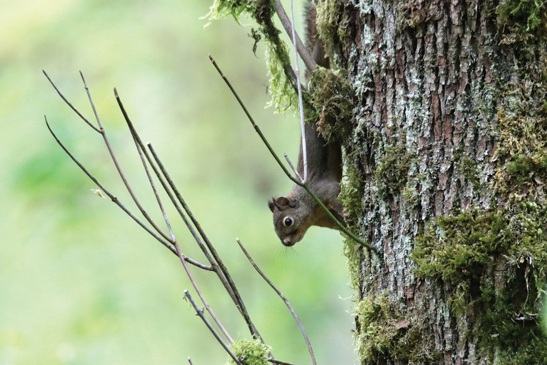 A small squirrel with tufts on its ears holds onto a tree with deep grooves in its bark.