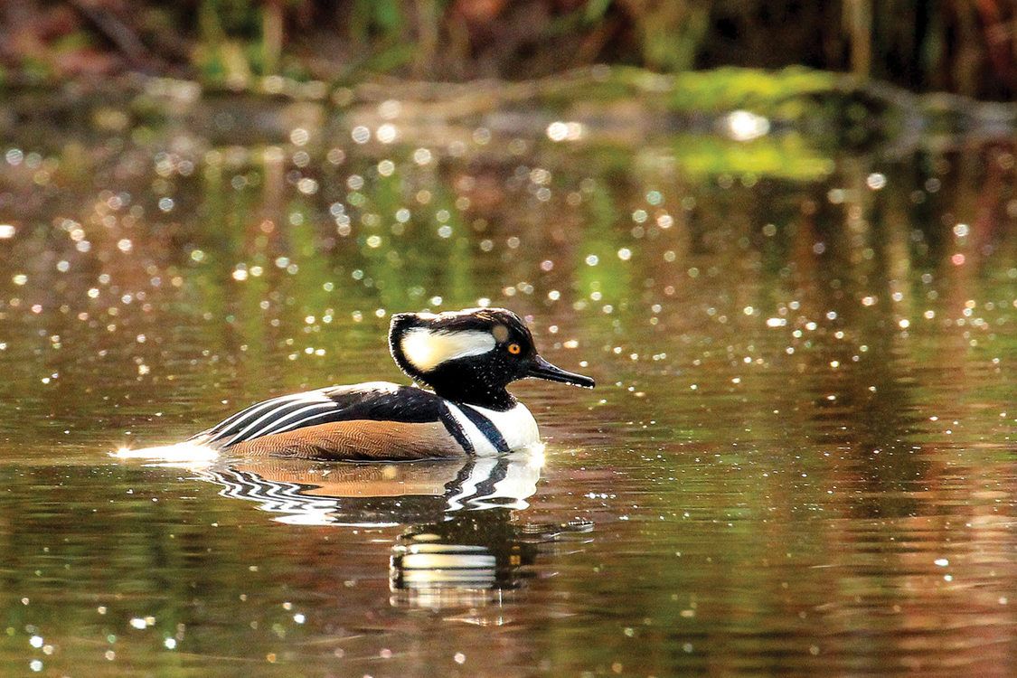 A hooded merganser swims in a mostly still pool, it's reflect mirroring it in the ripples.