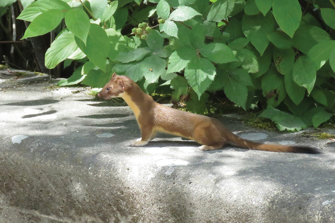 A brown weasel with a cream belly stands on concrete under a bush, it looks like it is ready to pounce.