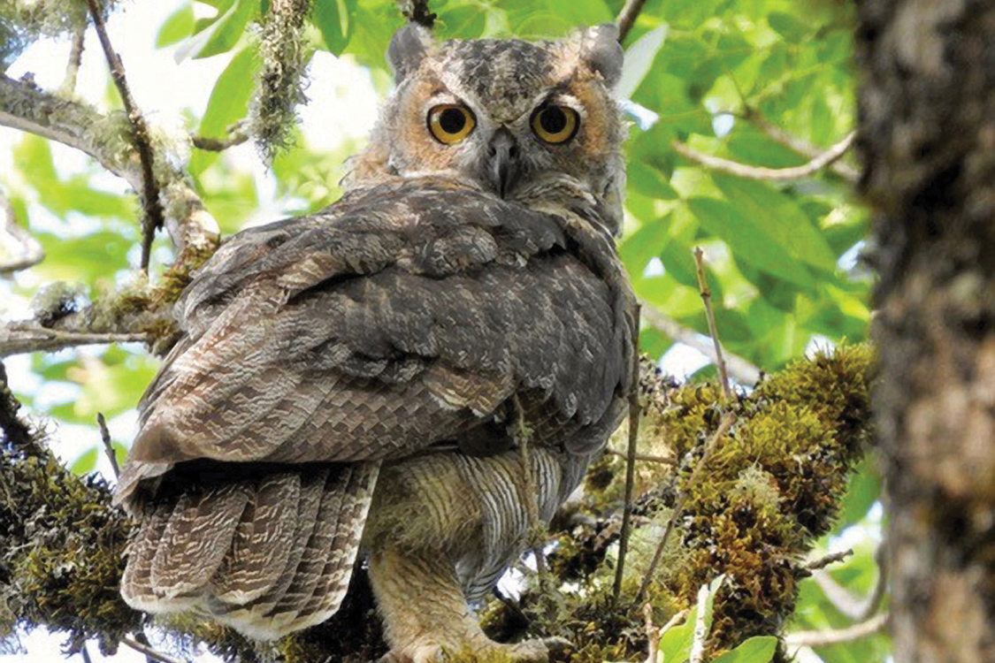 During the daytime, great horned owl looks over its right shoulder down at the camera.