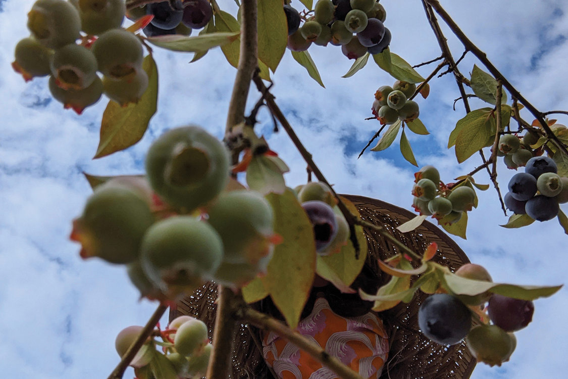 Photographed up through branches of ripe and unripe blueberries, a person in a wide-brimmed, straw hat and homemade mask picks the berries.