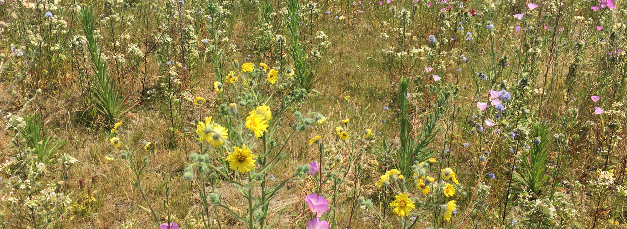 field of wildflowers at St. Johns Prairie