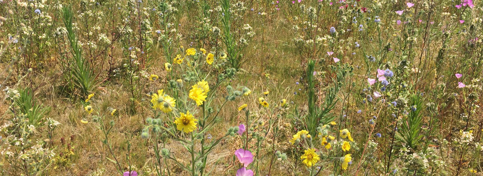 field of wildflowers at St. Johns Prairie