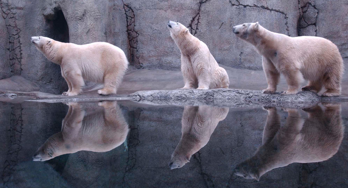 photo of polar bears at the zoo