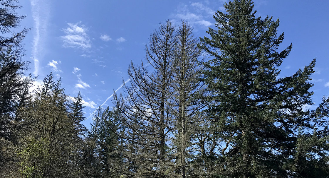 Dead Douglas fir trees by thriving Douglas firs at Tonquin Scablands.