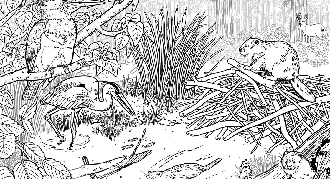 A coloring book illustration of a beaver dam on a creek with many animals and plants around it.