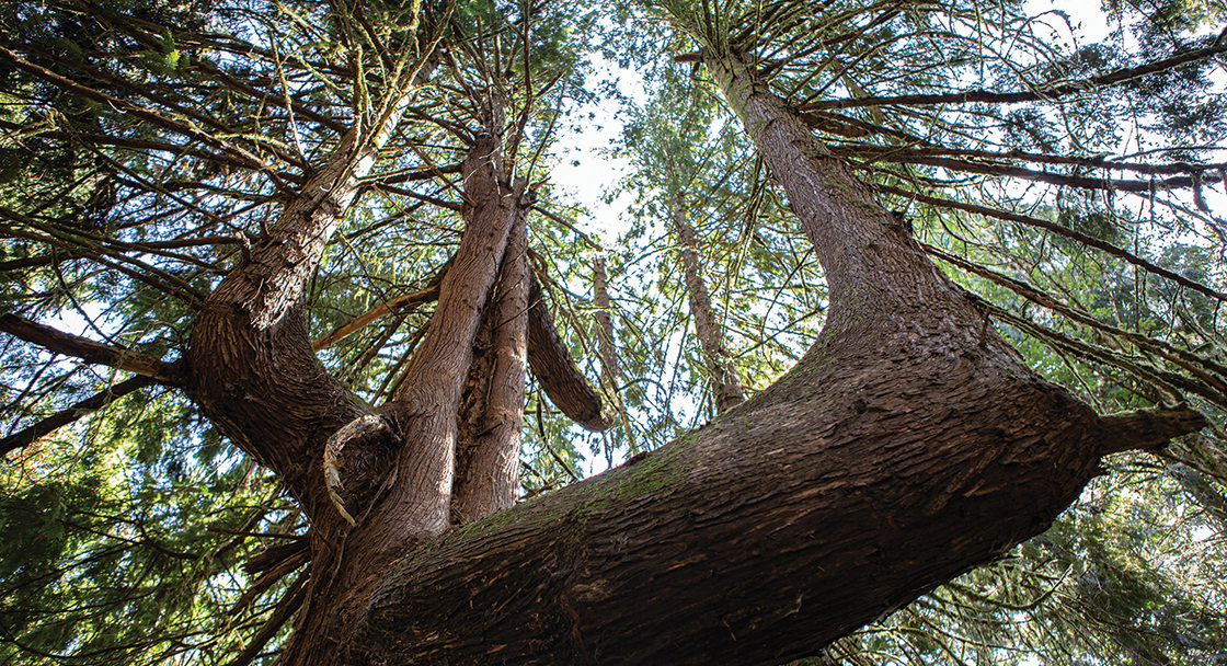 An enormous tree with multiple trunks reaches high into the canopy of a forest.