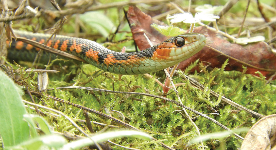 An orange, black and light green garter snake, with a big eye, lies on top of tiny twigs and moss.