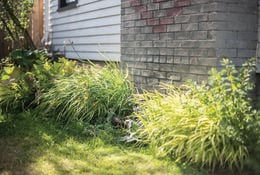 Native evergreen plants in home landscaping