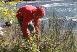 Man wearing red sweatshirt pulls weed from ground along river.