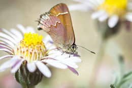 photo of cedar hairstreak butterfly. spring 2018 Our Big Backyard photo contest winner