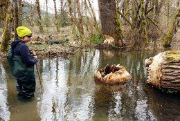photo of large tree that beaver chewed through at Richardson Creek Natural Area