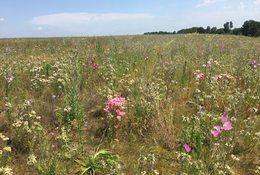 photo of St. Johns Prairie wildflowers