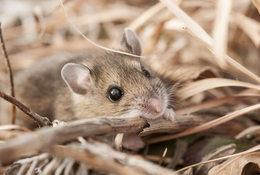 Deer mouse rustling through dead plant matter.